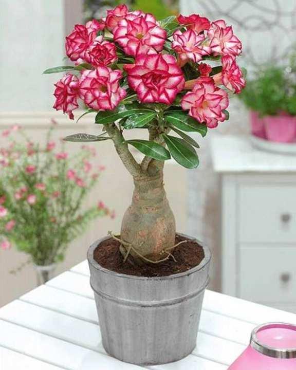 5 Seeds Adenium Obesum Bonsai Rare Succulent Caudex Flower