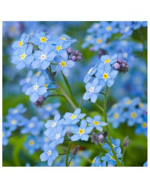 Forget Me Not Woodland Seeds