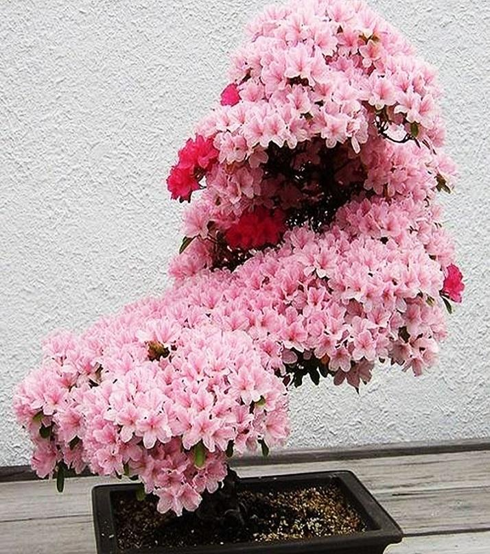 10pcs Japanese Sakura Cherry Blossom Tree Seeds For Home Garden Beautiful Flowers Buy Online At Best Prices In Pakistan Daraz Pk