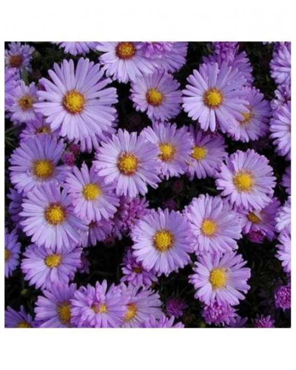 Aster Novi-Belgii Seeds - Multicolour