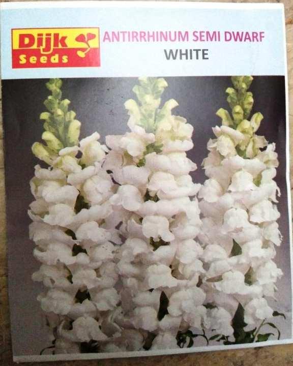 Antirrhinum Semi Dwarf White winter flower
