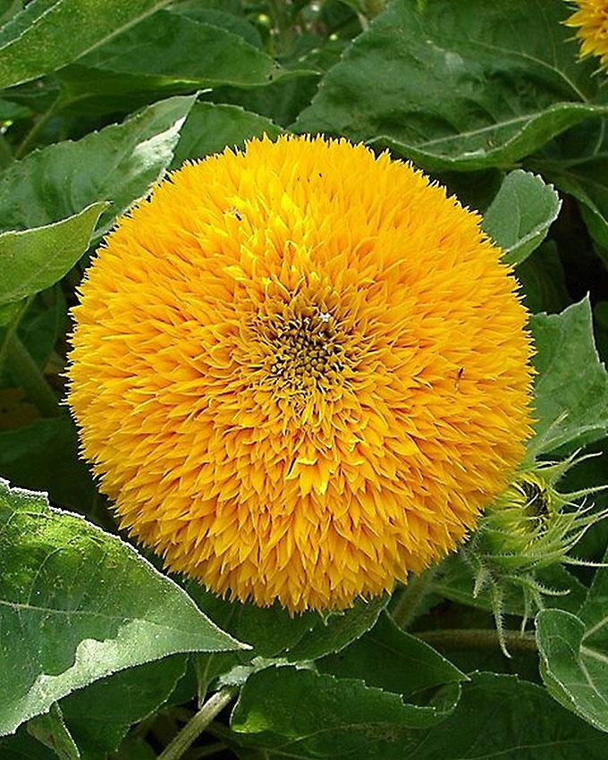 Teddy Bear Sun Flower Seeds