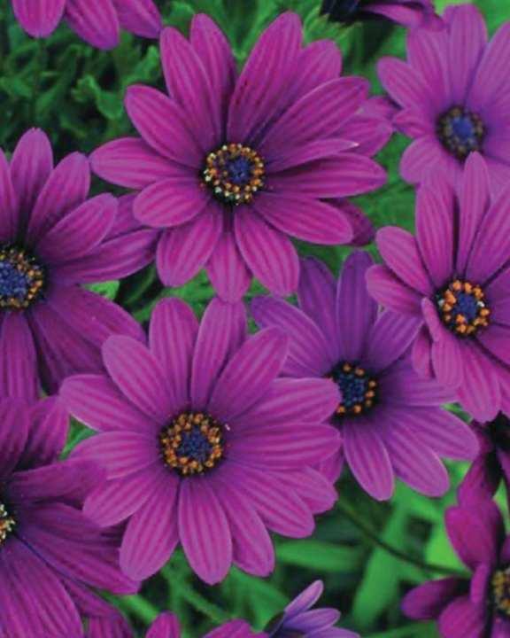 F1 Purple Osteospermum Seeds