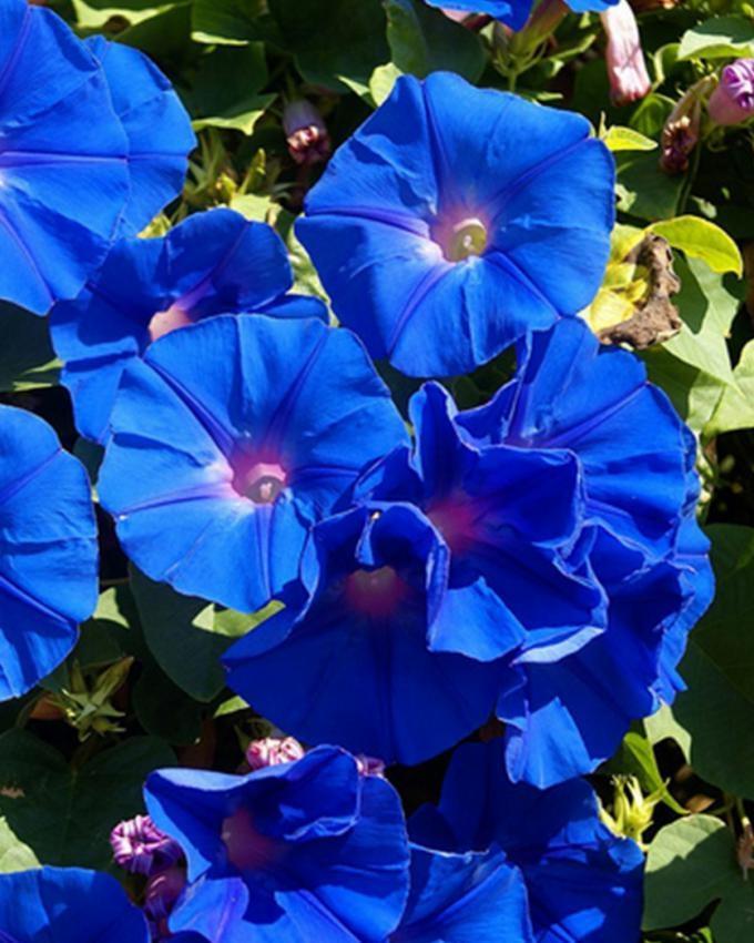 Blue Bell Flower Seeds