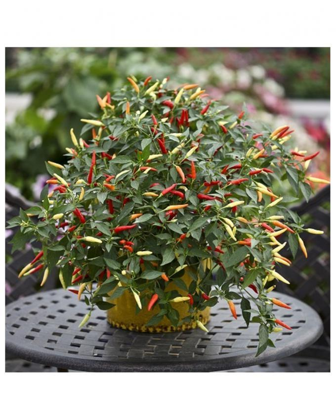 Organic Potted Red Chili Seeds