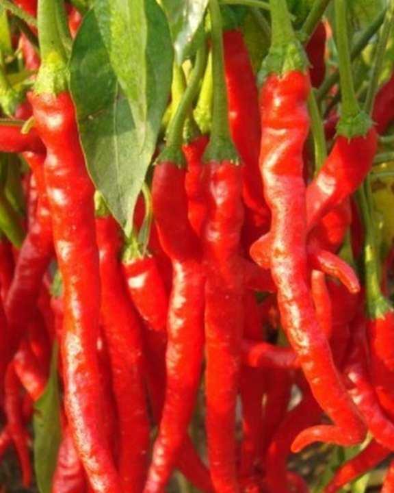 Organic Giant Pepper Seeds