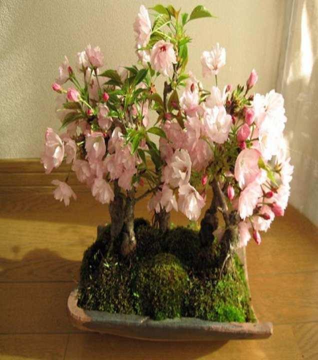 Rare Japanese Sakura Red Pink