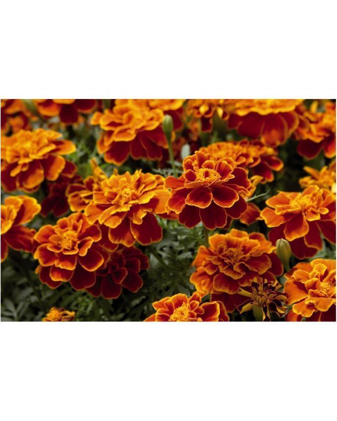 Tagetes Flower Seeds - Multicolour