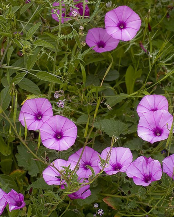 Purple Convolvulus Tricolor Flower Seeds