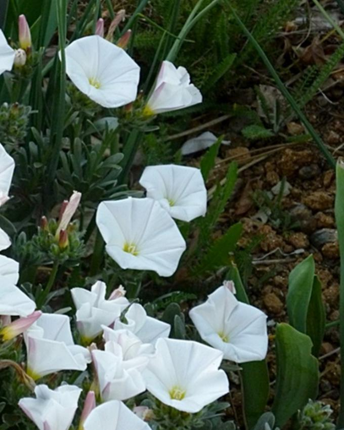 White Convolvulus Tricolor Flower Seeds