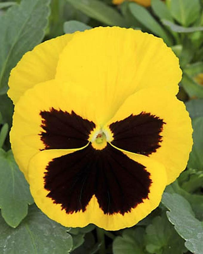 Viola Tricolor Flower Seeds