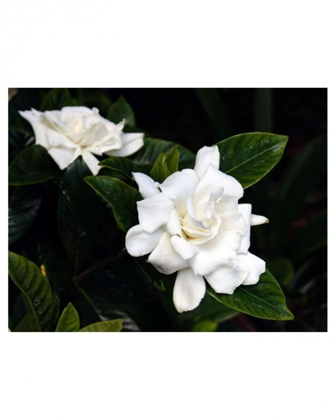 White Gardenia Rose Seeds