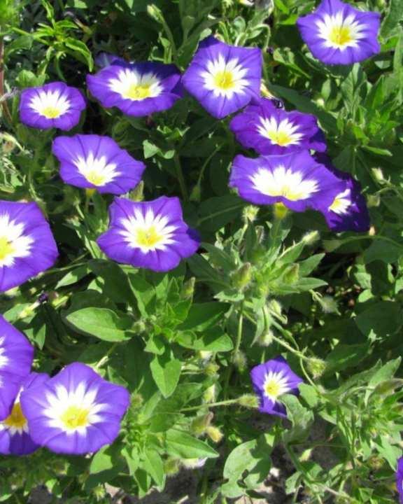 Blue Convolvulus Tricolor Flower Seeds