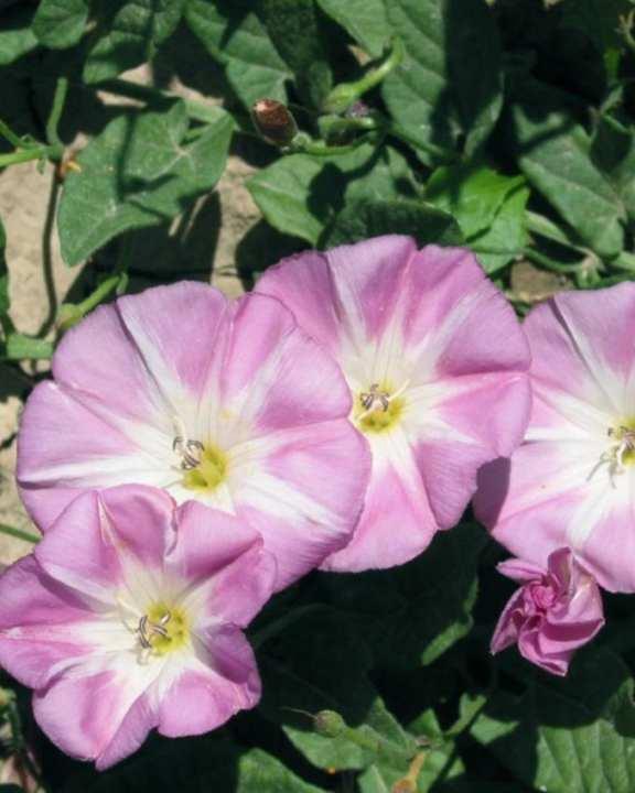 Pink Convolvulus Tricolor Flower Seeds