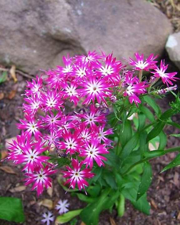Phlox Twinkle Star Seeds