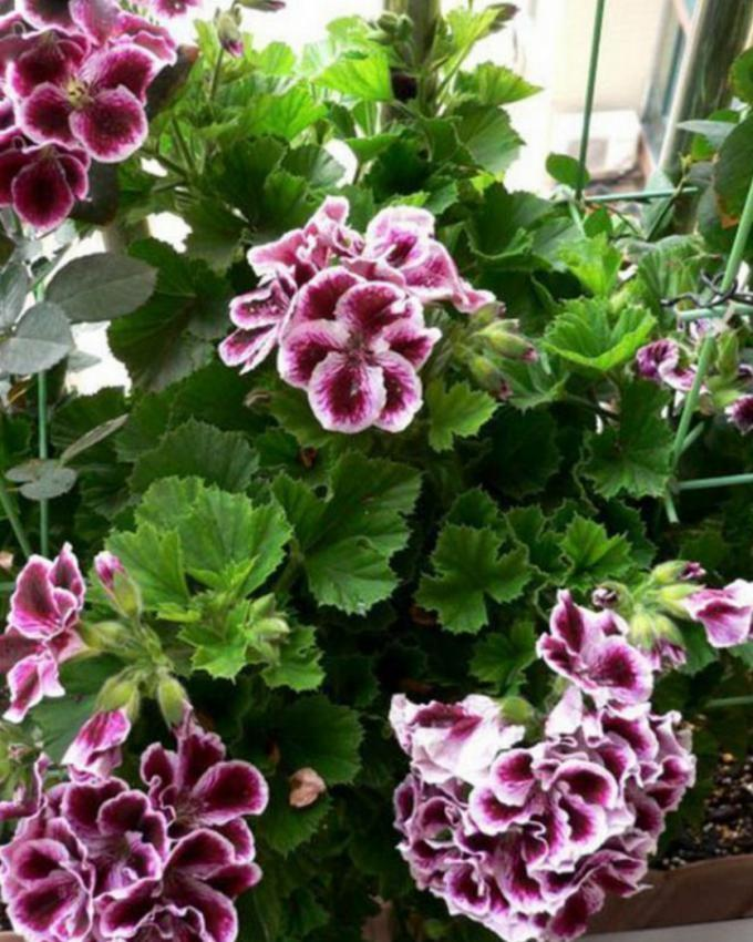 Purple Rare Geranium Seeds