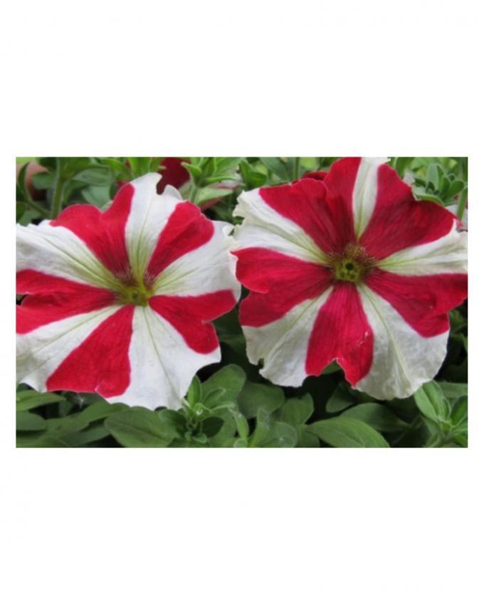 Hybrid Large Petunia Seeds