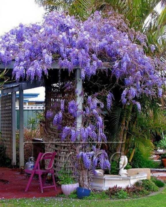 Blue Japanese Wisteria Seeds