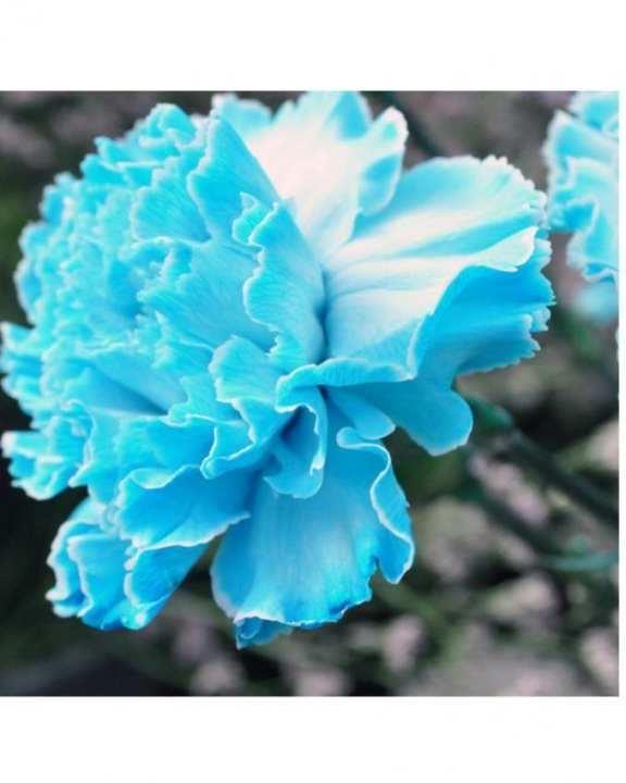 Blue Carnations Flower Seeds