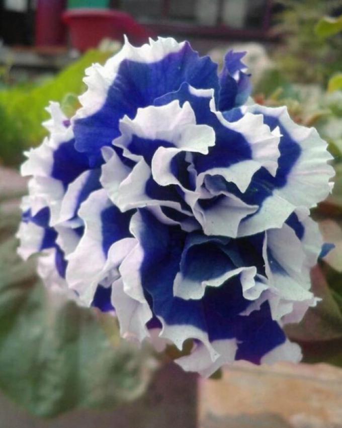 Petunia Petals Blue and White Seeds