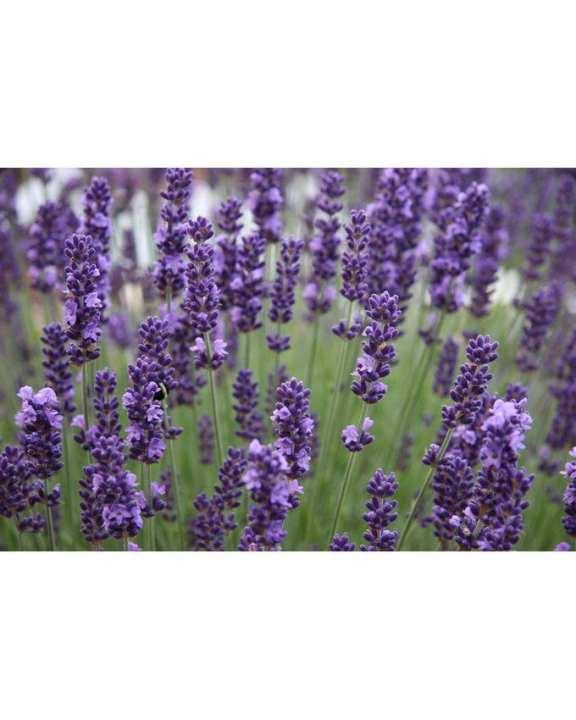 English Lavender Seeds