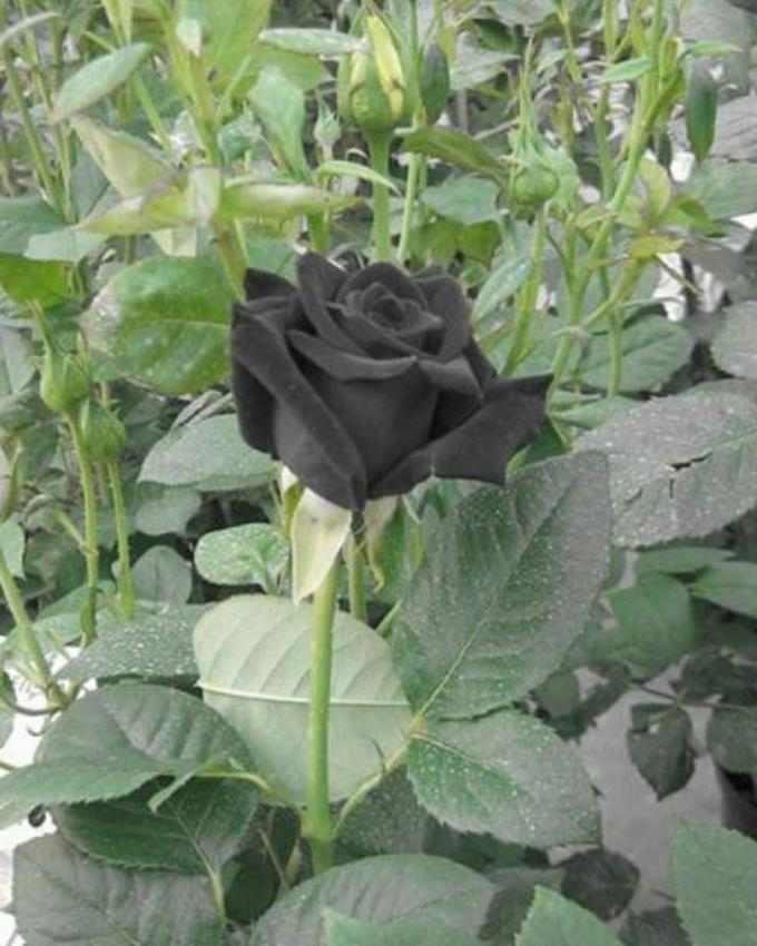 Black Rose Seeds Buy Online At Best Prices In Pakistan Daraz Pk