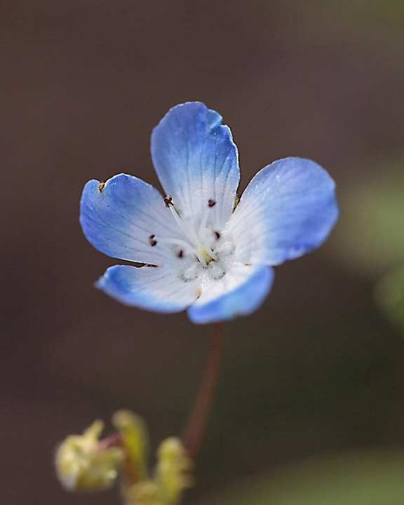Baby Blue Eyes Nemophila Seeds