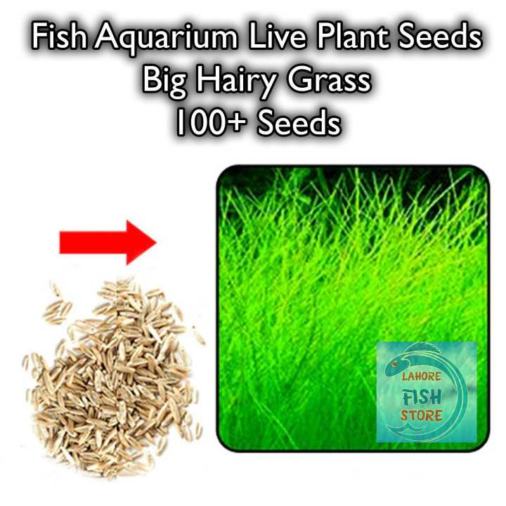 Fish Aquarium Live Plant Seeds - Big Hairy Grass - 100+ Seeds