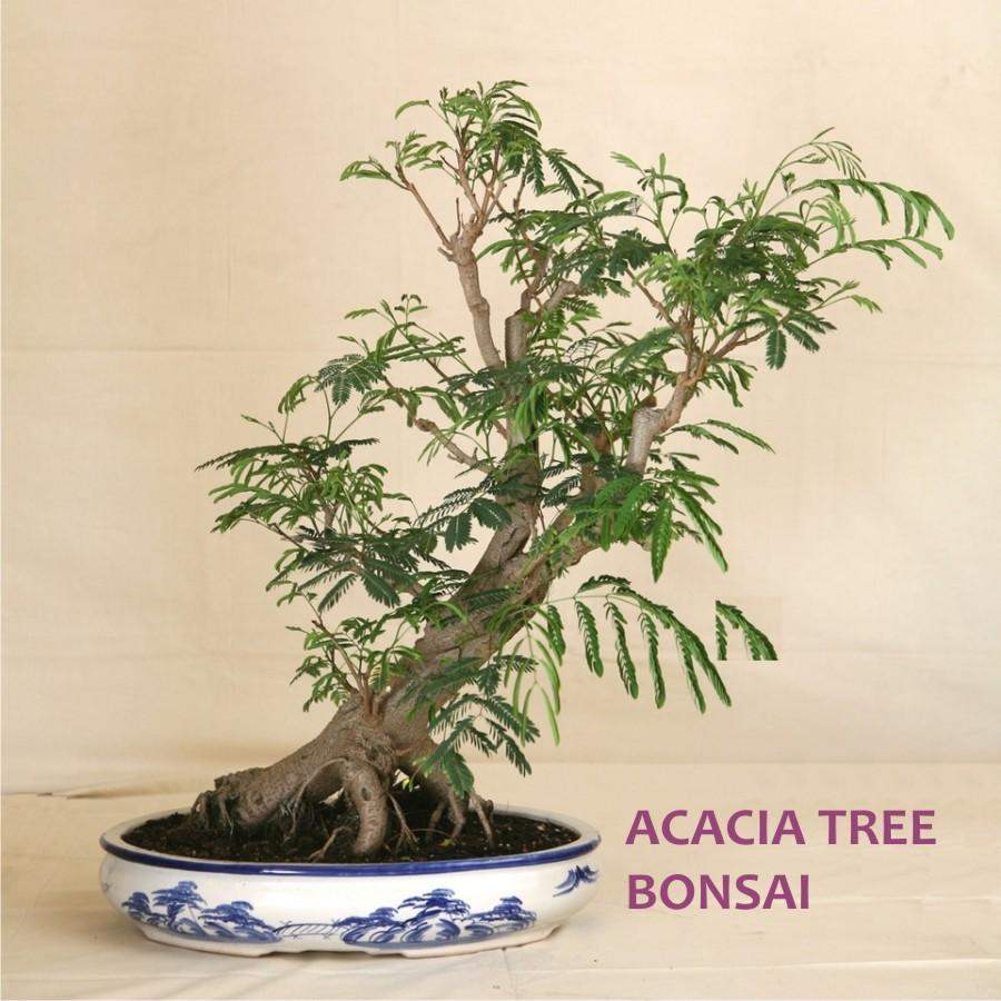 Vachellia Nilotica Acacia Kikar Best Bonsai Plant Seeds Easy Growing Buy Online At Best Prices In Pakistan Daraz Pk