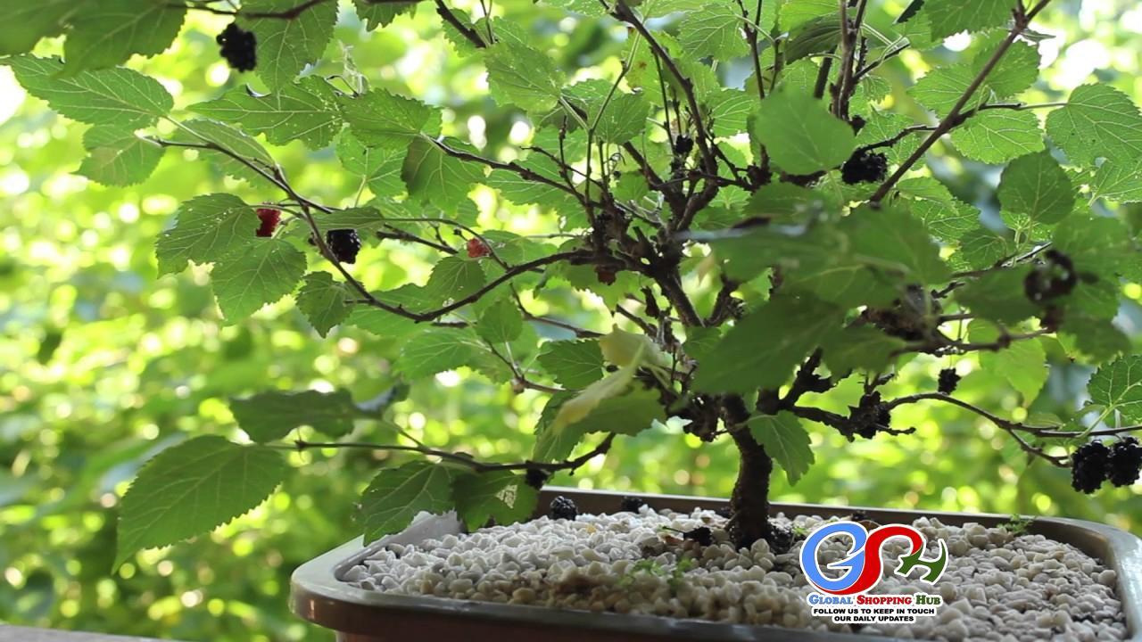 Blackberry Bonsai Tree Bonsai Tree
