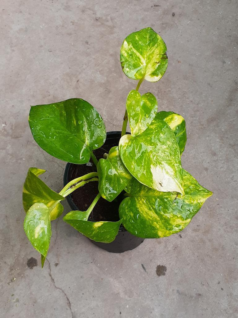 Money plant variegated cutting live plant BY HK DEALER