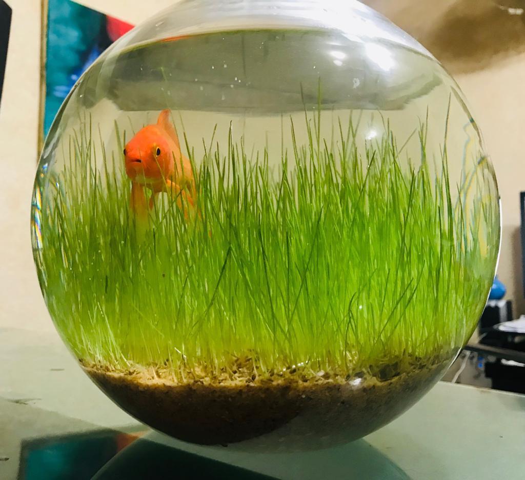 Original Aquatic Dwarf Hairgrass Seeds , Water Grass Plant Fish Tank  Decoration, 1000 Seeds, 100% Germination