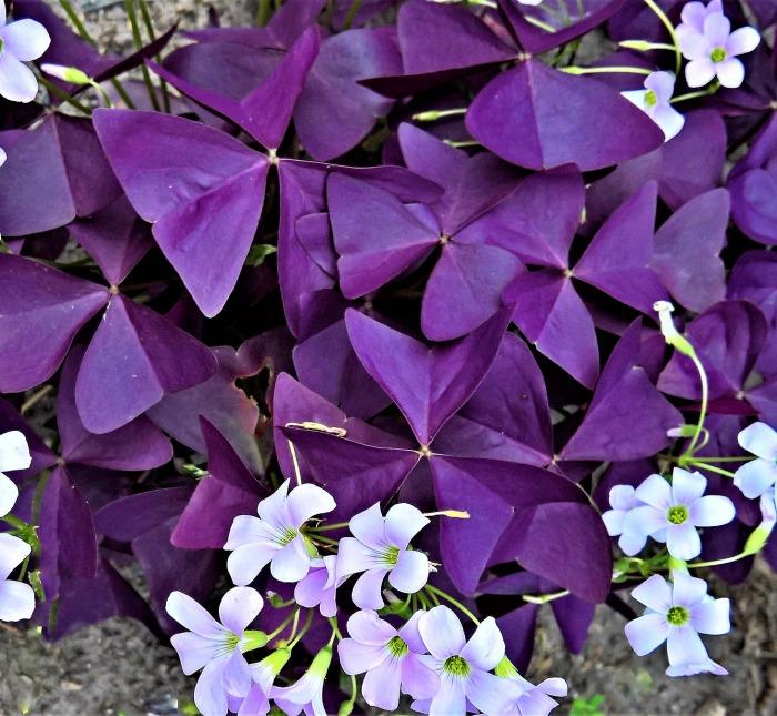 Ungu Shamrock Oxalis Triangularis Umbi - 5 Umbi - Mudah Tumbuh untuk Taman Rumah Luar Halaman Penanaman Pertanian: Beli Online dengan Harga Terbaik di Pakistan |  Daraz.pk